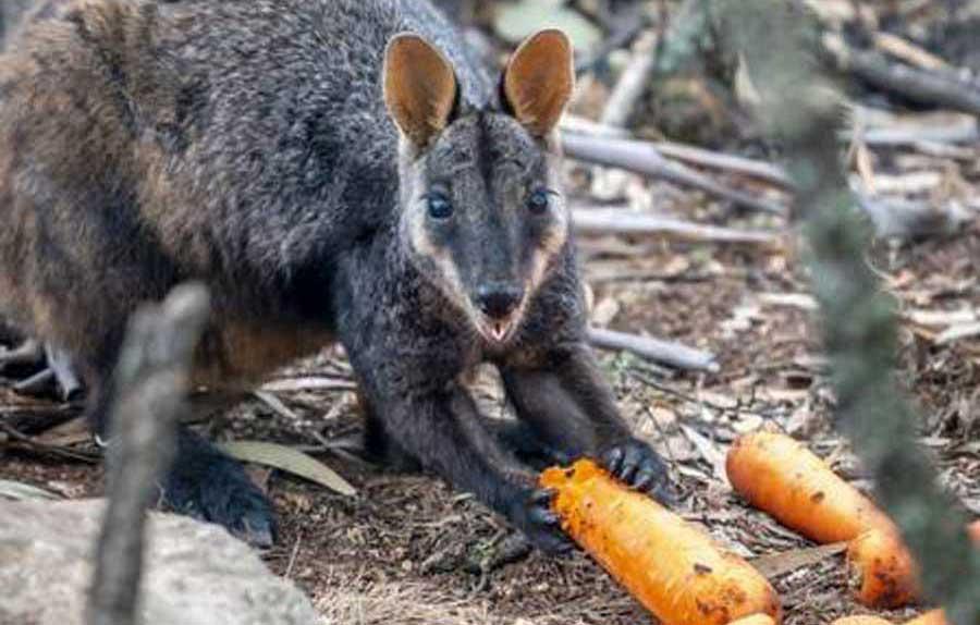 Tá chovendo cenoura e batata no céu da Austrália